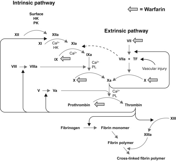 Source: Lin (2005): Disruption of the coagulation cascade by warfarin.