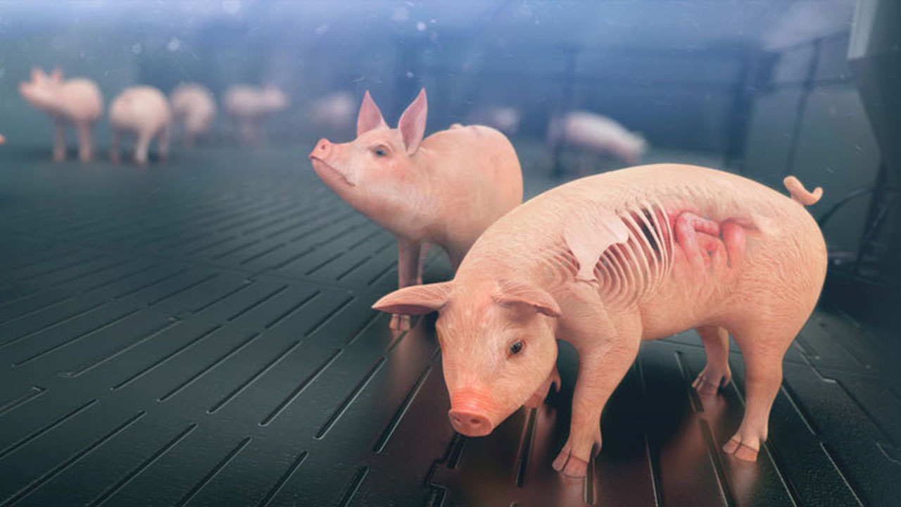 Featured Case Study: Solutions in Swine Business